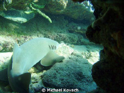 Nurse Shark on the Inside Reef at Lauderdale by the Sea by Michael Kovach 